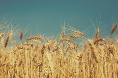 Golden wheat field, harvest and farming Stock Photos