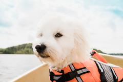 Close up portrait of coton de tulear dog wearing life jacket on boat, Orivesi, Stock Photos