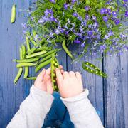 Young boy shelling sugar snap peas, close-up Stock Photos