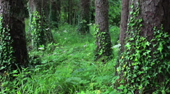 Heavenly Forest with Green Vines Growing on Trees in Ireland Stock Footage