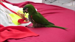 Green parrot playing with toys Stock Footage
