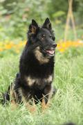 Amazing Bohemian Shepherd in the garden Stock Photos