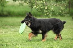 Beautiful Bohemian Shepherd running with a toy in the garden Stock Photos
