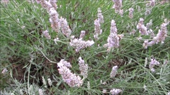 Lavender flowers with foraging bees. Stock Footage