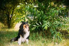 Staring To Camera Tricolor Scottish Rough Long-Haired Collie Lassie Adult Dog Stock Photos