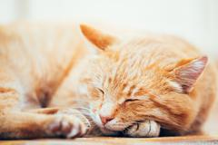 Peaceful Orange Red Tabby Cat Male Kitten Sleeping In His Bed On Floor Stock Photos