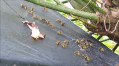 Wasps feeding on garden shed roof Stock Footage