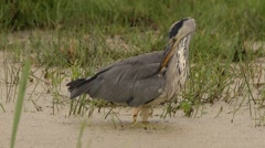 Grey heron hunting at a lake Stock Footage