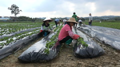 People work at a strawberry farm in Guangdong province in China Stock Footage