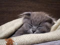 Kitten fast asleep in a blanket. Grey Cat, Fluffy, Fold Stock Photos