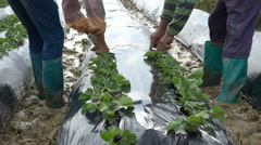 Boots of farmers at work in muddy strawberry field, agriculture rural China Stock Footage