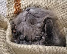 Kitten fast asleep in a blanket. Grey Cat, Fluffy, Fold Stock Photos