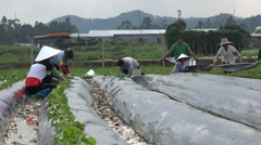 Farmers lay plastic over strawberry plants in Guangdong, China Stock Footage