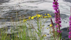 Yellow and Purple Wildflower Next to Stream in Ireland Stock Footage