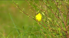 An oriole perches in the field. Stock Footage
