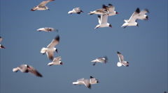 Flock of Seagulls Flying Over Isla Beach in South Padre Island, Texas Stock Footage