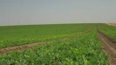 Vegetarian diet, soybean fields in the vegetable farms Stock Footage