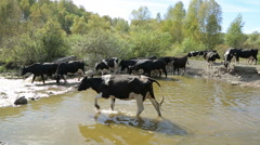 A herd of cows at the watering hole Stock Footage