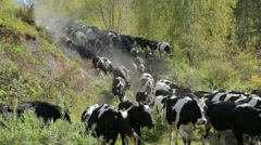A herd of cows goes to the watering hole Stock Footage