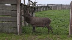 Deer in paddock waiting for food Stock Footage