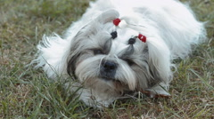 Shih tzu dog on grass. Сhewing on a piece of wood. Stock Footage
