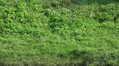 Fresh green grass shot from top view, with wind blowing, hill side Stock Footage