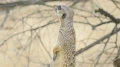 Meerkat looking out Stock Footage