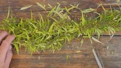 Cannabis Marijuana flower cutting process before drying. top view 4K Arkistovideo