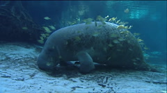 A manatee swims underwater. Stock Footage
