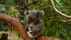 Cute Australian Koala Bear Sitting in a Tree in Natural Habitat Stock Footage