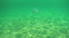 Moon jellyfish (Aurelia aurita) swim near the people Stock Footage