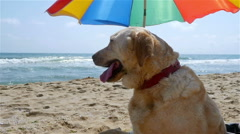 Dog sitting under parasol on the sea beach, slow motion Stock Footage