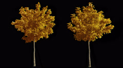 2 blowing on the wind autumn yellow trees isolated with alpha Stock Footage