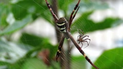 Spiders on web. Smaller one moves around the larger one. Stock Footage