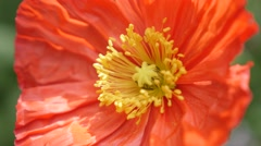 Red and orange boreal flowering plant Iceland Poppy in the garden 4K 2160p 30 Stock Footage
