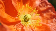 Close-up of red and orange boreal flowering plant Iceland Poppy in the garden Stock Footage