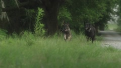 Trained dogs running on grass during the day Stock Footage