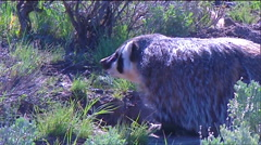 A badger walks in the grass. Stock Footage