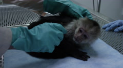Veterinarian checking on a monkey at veterinary clinic Stock Footage