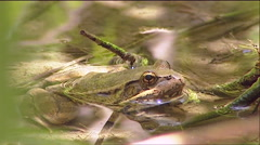 A green frog sits in a pond. Stock Footage