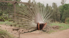 Beautiful peacock with feathers out in zoo Stock Footage