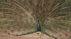 Beautiful peacock with it's feathers spread out in zoo Stock Footage