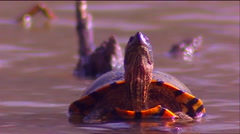 A pond turtle opens its mouth. Stock Footage