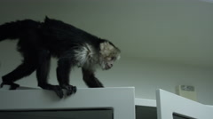 Monkey jumping from top of cabinet at veterinary clinic Stock Footage