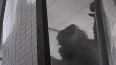 Gorilla breaking a cage in room Stock Footage
