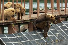 Young brown bear waiting prey on fence to account for fish. Kurile Lake Stock Photos
