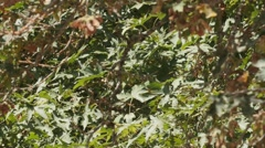 Tree Branches And Leaves Swaying In The Breeze Stock Footage