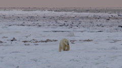 Medium - polar bear walks close over ice with pink dawn horizon Stock Footage