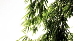 Bamboo leaf Stock Footage