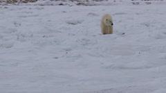Polar bear licks nose as it walks across jumbled sea ice Stock Footage